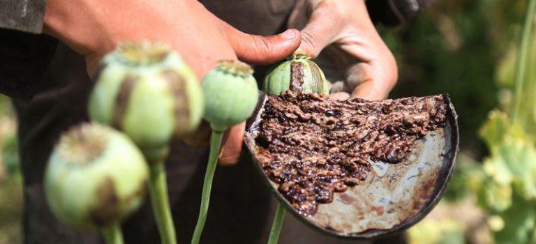 Правительство РФ одобрило выращивание наркосодержащих растений