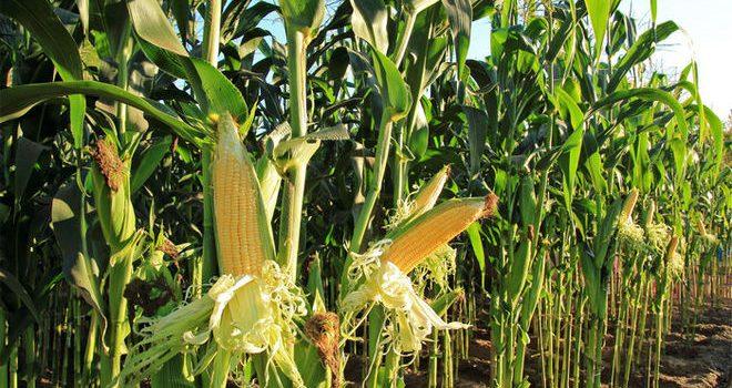 Украина заваливает Азию кукурузой