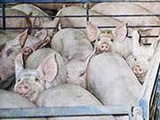 Украина экспортировала рекордное количество свинины