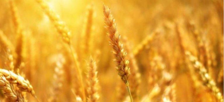 США прогнозируют рекордный урожай зерновых в Украине